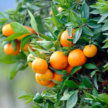 horticulture - citrus