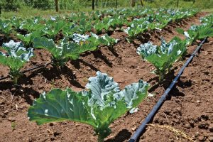 drip-vegetetable-irrigation