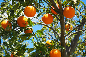 orange-citrus-irrigation