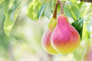 pear-irrigation-production