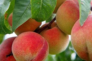 stone-fruit-orchard-irrigation